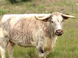 Long horned cow